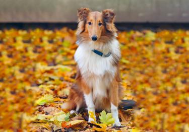 Photo : chien de race Colley à poil long sur Woopets