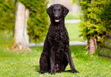 Photo : chien de race Curly Coated Retriever sur Woopets