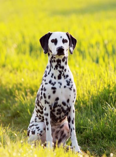 Photo : chien de race Dalmatien sur Woopets