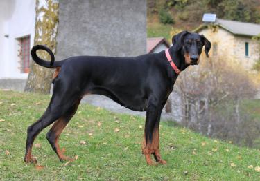 Photo : chien de race Dobermann sur Woopets