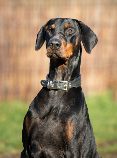 Photo : chien de race Dobermann sur Woopets