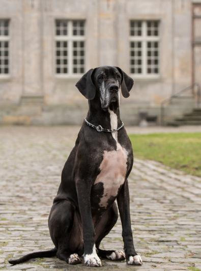 Photo : chien de race Dogue Allemand sur Woopets