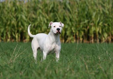 Photo : chien de race Dogue Argentin sur Woopets