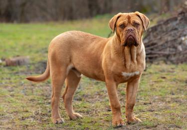 Photo : chien de race Dogue de Bordeaux sur Woopets