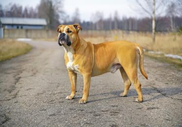 Photo : chien de race Dogue de Majorque sur Woopets