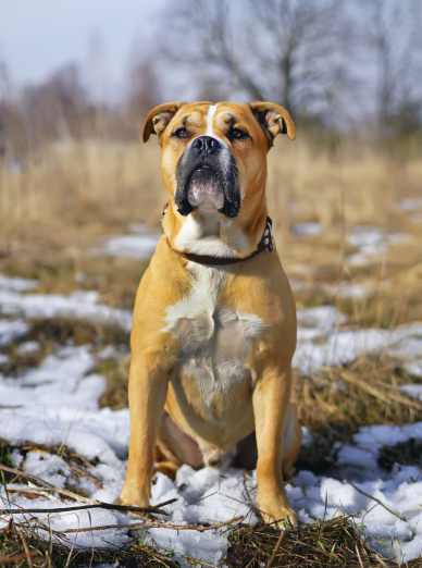 Photo : chien de race Dogue de Majorque sur Woopets