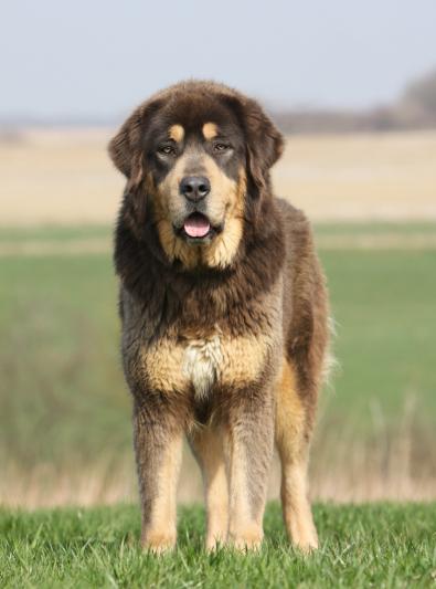Photo : chien de race Dogue du Tibet sur Woopets