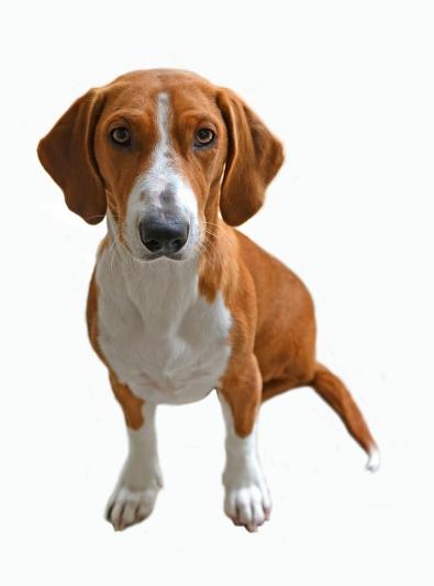 Photo : chien de race Drever sur Woopets