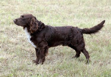 Photo : chien de race Chien d'Oysel sur Woopets