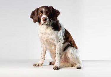 Photo : chien de race Epagneul à perdrix de Drente sur Woopets