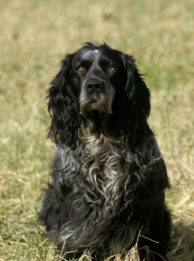 Photo : chien de race Epagneul Bleu de Picardie sur Woopets