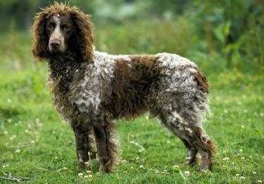 Photo : chien de race Epagneul de Pont-Audemer sur Woopets
