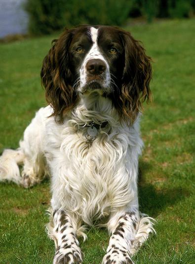 Photo : chien de race Epagneul Français sur Woopets