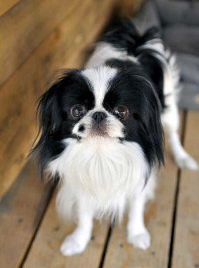 Photo : chien de race Epagneul Japonais sur Woopets