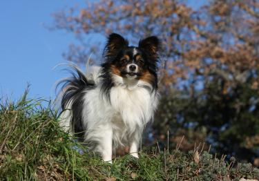Photo : chien de race Epagneul Nain Continental sur Woopets