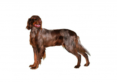 Photo : chien de race Epagneul Picard sur Woopets
