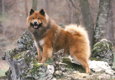 Photo : chien de race Eurasier sur Woopets