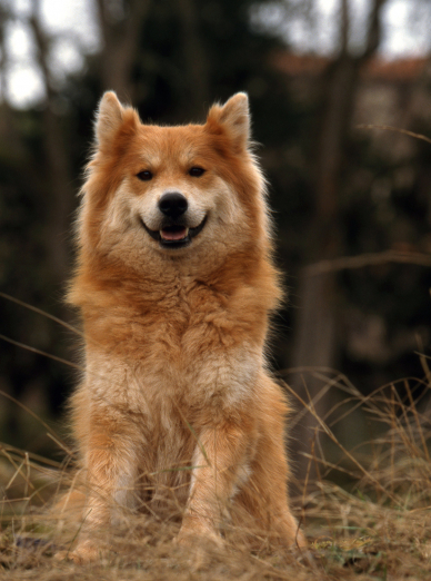 Photo : chien de race Eurasier sur Woopets