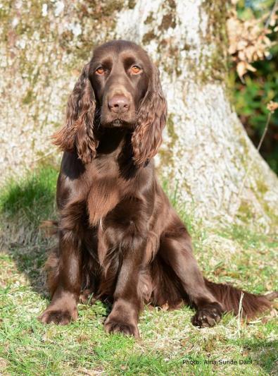 Photo : chien de race Field-Spaniel sur Woopets