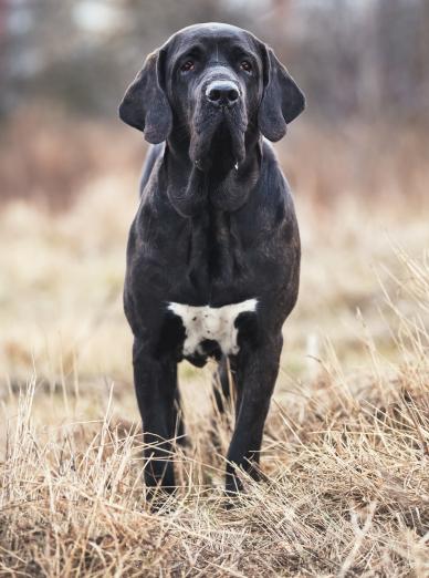 Photo : chien de race Fila Brasileiro sur Woopets