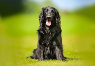 Photo : chien de race Flat-Coated Retriever sur Woopets