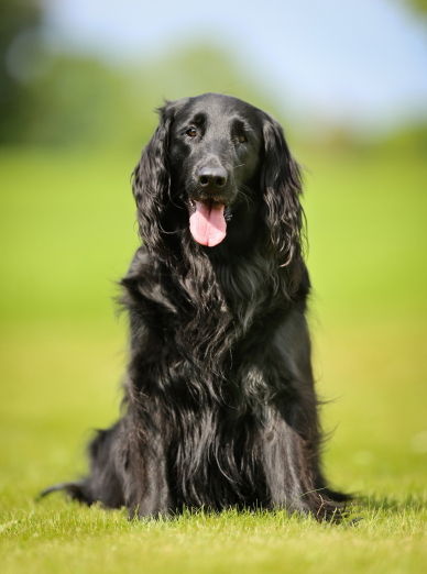 Photo : chien de race Flat-Coated Retriever sur Woopets