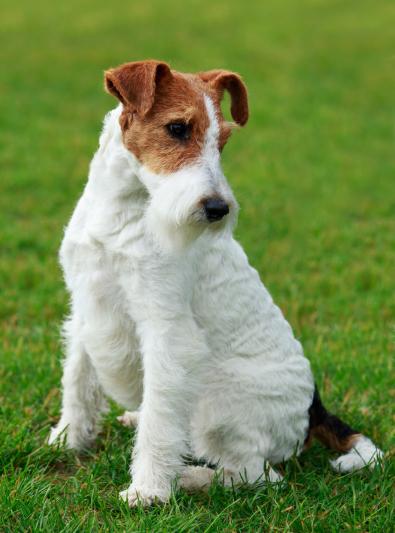 Photo : chien de race Fox Terrier sur Woopets