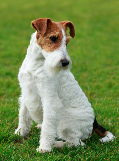 "Illustration de la race ""Fox Terrier"""