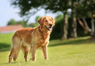 Photo : chien de race Golden Retriever sur Woopets