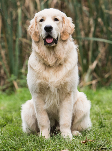 Photo : chien de race Golden Retriever sur Woopets