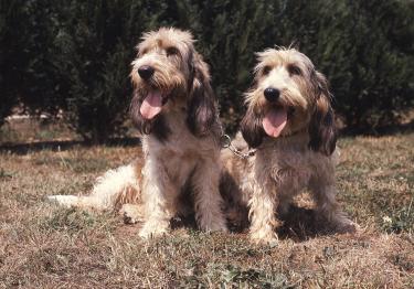 Photo : chien de race Grand Basset Griffon vendéen sur Woopets