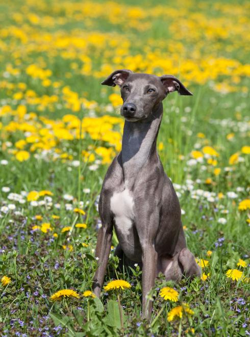 "Illustration de la race ""Greyhound"""