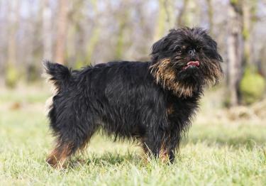 Photo : chien de race Griffon Belge sur Woopets