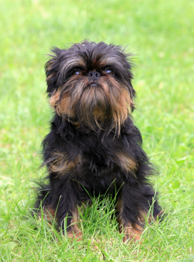 Photo : chien de race Griffon Belge sur Woopets