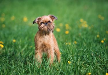 Photo : chien de race Griffon Bruxellois sur Woopets