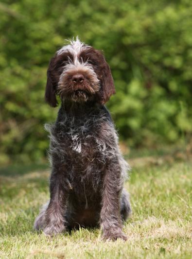 Photo : chien de race Griffon Korthals sur Woopets