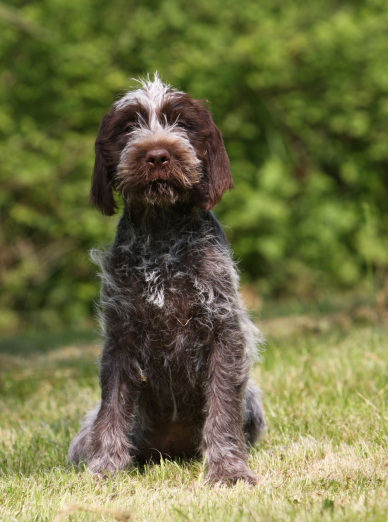 Photo : chien de race Griffon Korthals sur Woopets