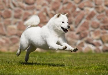 Photo : chien de race Hokkaïdo Ken sur Woopets
