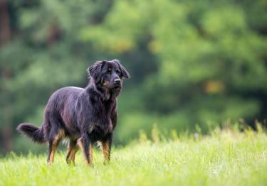 Photo : chien de race Hovawart sur Woopets