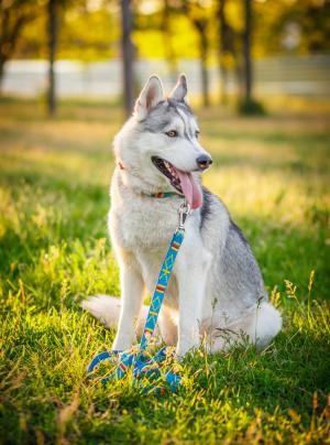 Photo : chien de race Husky Sibérien sur Woopets