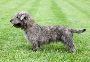 Photo : chien de race Irish Glen of Imaal Terrier sur Woopets