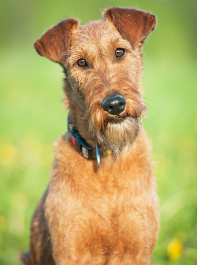 Photo : chien de race Irish Terrier sur Woopets