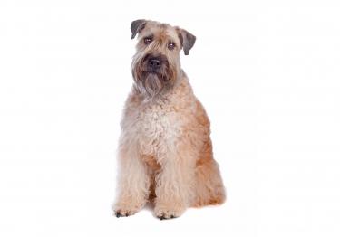 Photo : chien de race Irish Terrier à poil doux sur Woopets