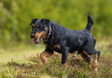 Photo : chien de race Jagdterrier sur Woopets