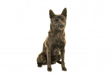 Photo : chien de race Kai sur Woopets