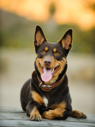 Photo : chien de race Kelpie sur Woopets