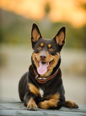 Photo : chien de race Kelpie sur Woopets