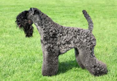 Photo : chien de race Kerry Blue Terrier sur Woopets