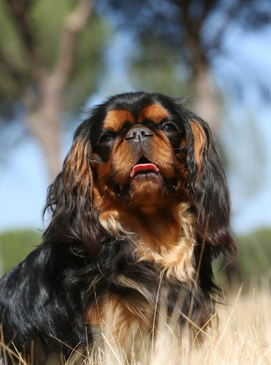 Photo : chien de race King Charles Spaniel sur Woopets