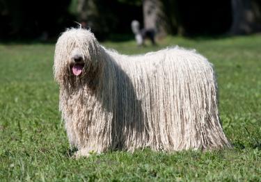 Photo : chien de race Komondor sur Woopets